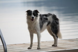 Blue Merle Border Collie Welcome